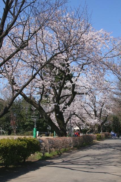 Sakura01web