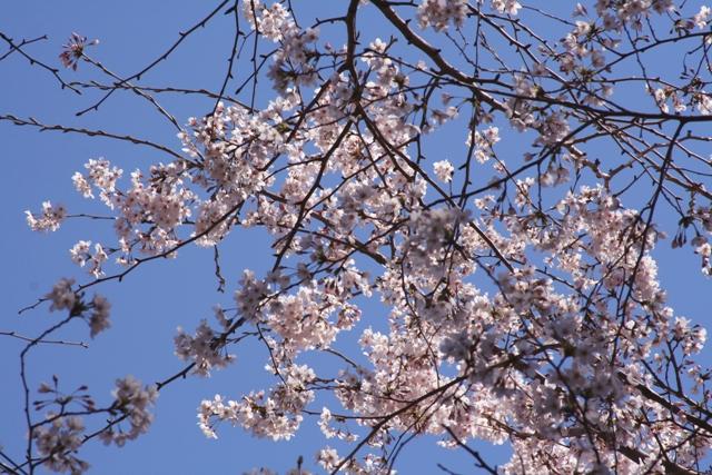 Sakura02web